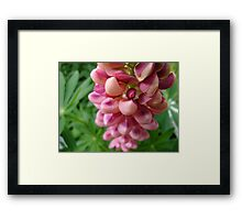 tender loving (lupin flower) Framed Print