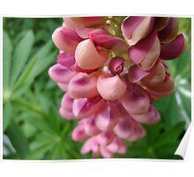 tender loving (lupin flower) Poster