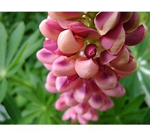 tender loving (lupin flower) Photographic Print