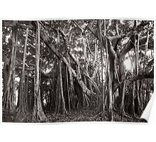 Banyan Tree with Aerial Roots Poster