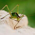 Cricket by vessybuzz