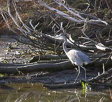 Heron resting in near by marsh by MattawomanImage