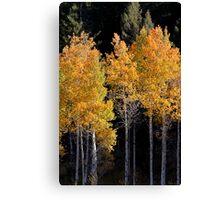 Colorful Aspen trees Canvas Print