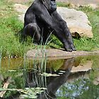 Gorilla Reflection by ApeArt