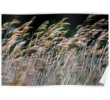 Reeds At Salthouse Marsh Poster