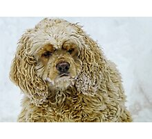 Snow Spaniel Photographic Print