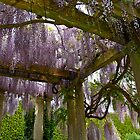 Wisteria Pergola at Exbury Gardens by Alex Cassels