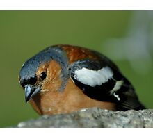 CHAFFINCH Photographic Print