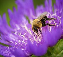 Bee on Cornflower Aster by crystalseye