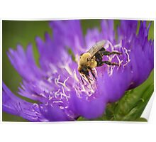 Bee on Cornflower Aster Poster