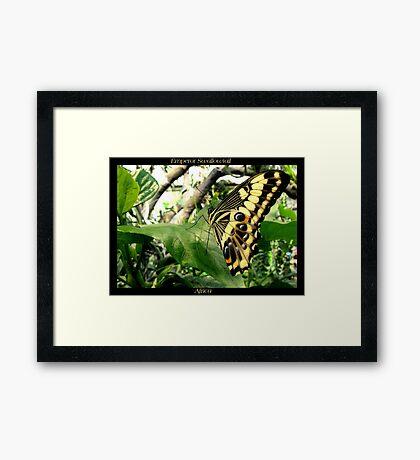 Butterfly (Africa) ~ Emperor Swallowtail Framed Print