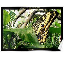 Butterfly (Africa) ~ Emperor Swallowtail Poster
