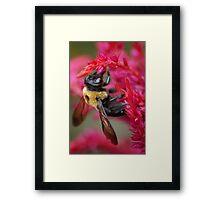 Bee on Cockscomb Framed Print