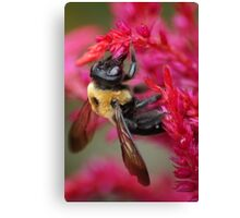 Bee on Cockscomb Canvas Print