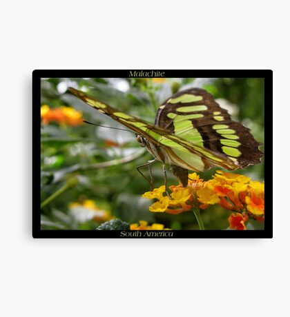 Butterfly (South America) ~ Malachite II Canvas Print
