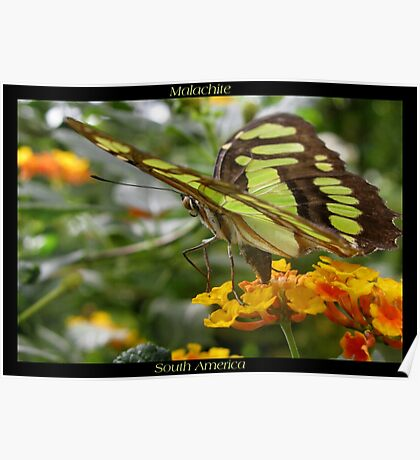 Butterfly (South America) ~ Malachite II Poster