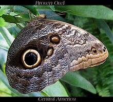 Butterfly (C. America) ~ Brown Owl by Kimberly Chadwick