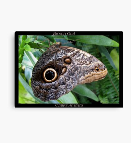 Butterfly (C. America) ~ Brown Owl Canvas Print