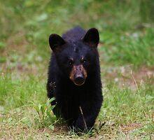Bold Baby Bear by Sara Bawtinheimer