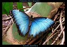 Butterfly (South America) ~ Peleides Blue Morpho II by Kimberly Chadwick
