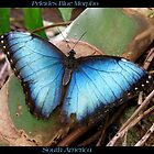 Butterfly (South America) ~ Peleides Blue Morpho II by Kimberly P-Chadwick