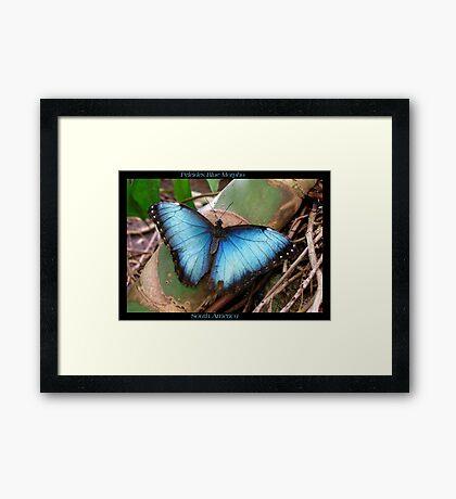 Butterfly (South America) ~ Peleides Blue Morpho II Framed Print