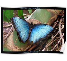 Butterfly (South America) ~ Peleides Blue Morpho II Poster