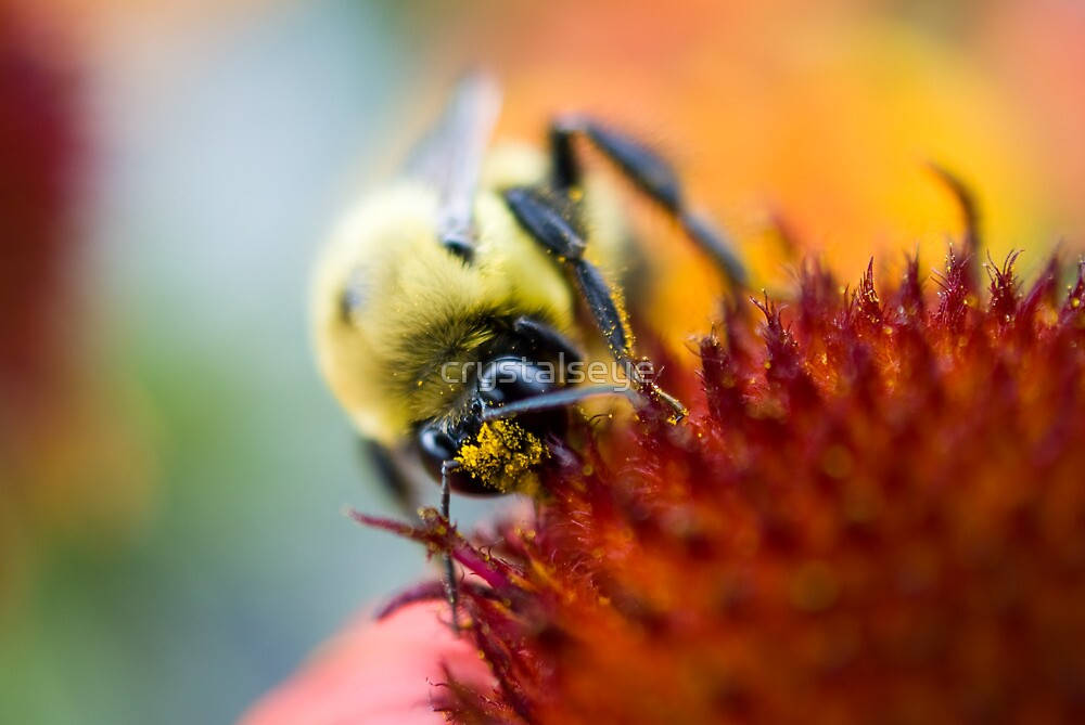 Bee on Coneflower by crystalseye