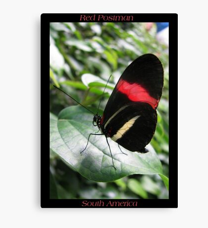 Butterfly (South America) ~ Red Postman II Canvas Print