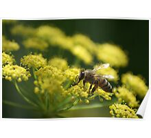 Bee on Fennel Poster