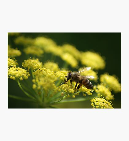 Bee on Fennel Photographic Print