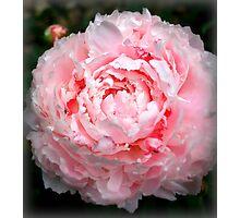 Pink Peony Photographic Print