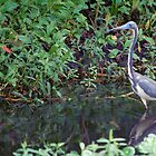 Tricolored Heron wading  by Ben Waggoner