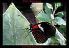 Butterfly (Central America) ~ Doris Longwing by Kimberly Chadwick