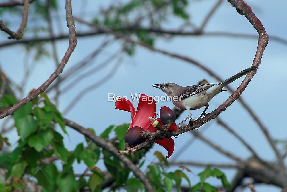 Mockingbird on a cotton tree by Ben Waggoner