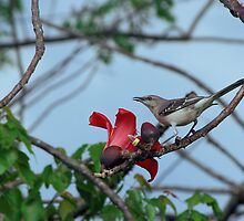 Mockingbird on a cotton tree by Ben Waggoner
