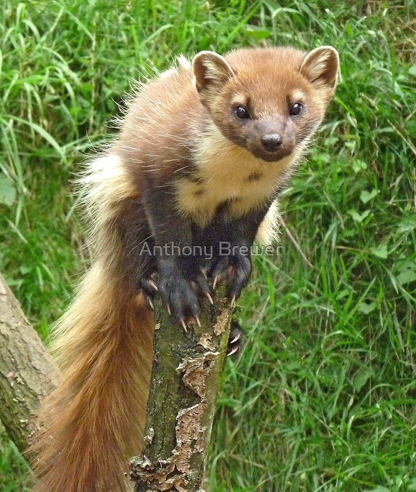 The tree weasel by Anthony Brewer