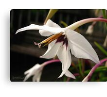 Acidanthera or Peacock Gladiolus Canvas Print