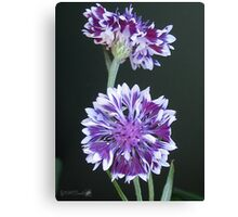 Bachelor Button from the Frosted Queen Mix Canvas Print
