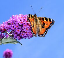 Small Tortoiseshell Butterfly (Aglais urticae) by Michaela1991