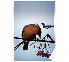 Bohemian Waxwing contemplating a mountain ash berry Poster