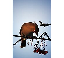 Bohemian Waxwing contemplating a mountain ash berry Photographic Print
