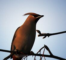 Bohemian Waxwing in Mountain Ash by May-Le Ng