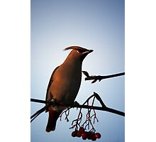 Bohemian Waxwing in Mountain Ash Photographic Print