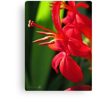Crocosmia named Lucifer Canvas Print