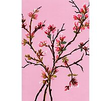 Cherry Blossoms from Amphai Photographic Print