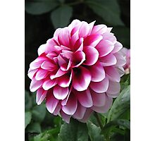Dwarf Dahlia named Colima Photographic Print