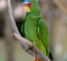 White Fronted Spectacled Amazon Parrot  by HotHibiscus