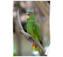 White Fronted Spectacled Amazon Parrot  Poster