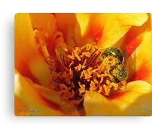 Portulaca in Orange Fading to Yellow Canvas Print